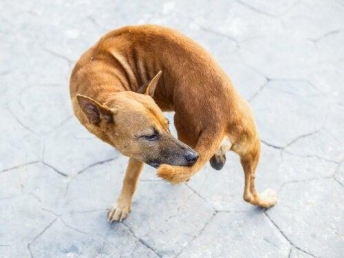 Pies gryzie swój ogon