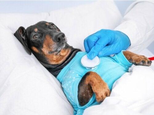 Pasożyty płuc u psów: charakterystyka, leczenie i profilaktyka