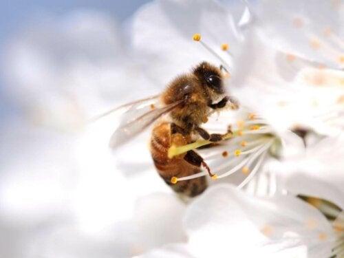 Pszczoła zapyla kwiat