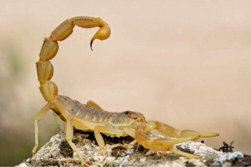 Skorpion żółty żądłko