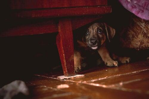 Przestraszony szczeniak pod stołem