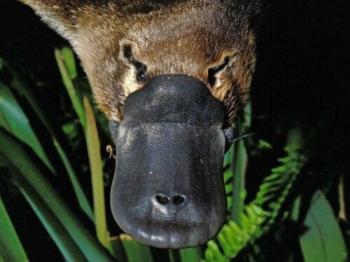 Jad dziobaka australijskiego: co musisz wiedzieć!