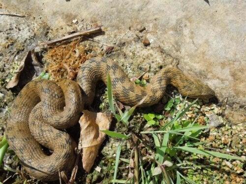 Zaskroniec żmijopodobny, wąż wodny