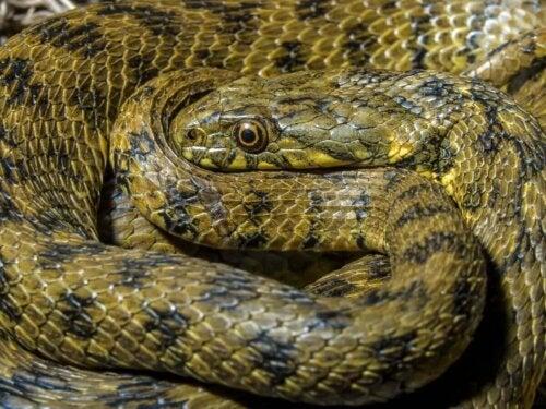 Wąż wodny, zmijopodobny
