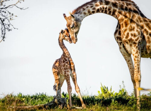 Żyrafa z młodym