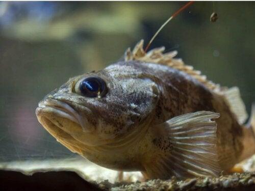Helicolenus dactylopterus przykład jednego z niebezpiecznych zwierząt