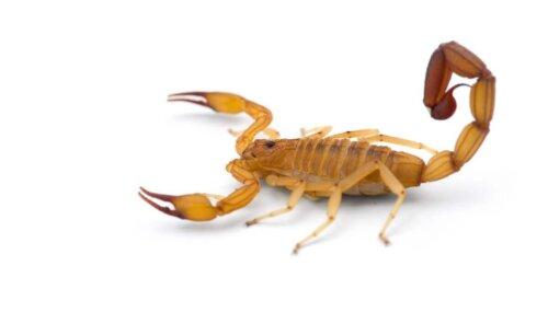 Biały skorpion