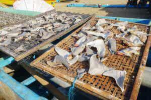 części rekina sprzedawane na targu, większość rekinów jest zagrożonych wyginięciem