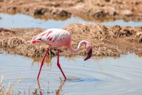 Flaming szukający pożywienia, dlaczego flamingi są różowe