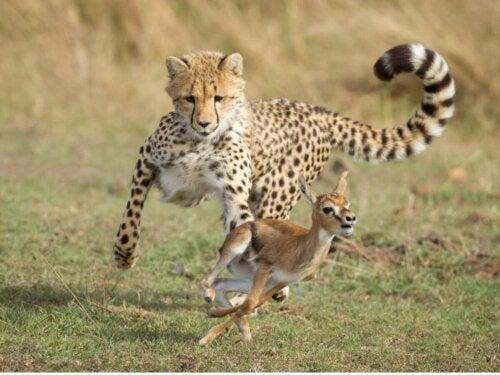 Gepard goniący jelonka