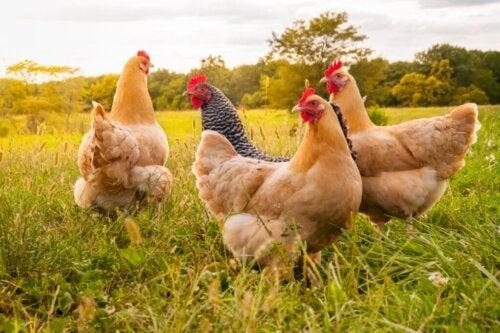Jak dbać o kurczaki?