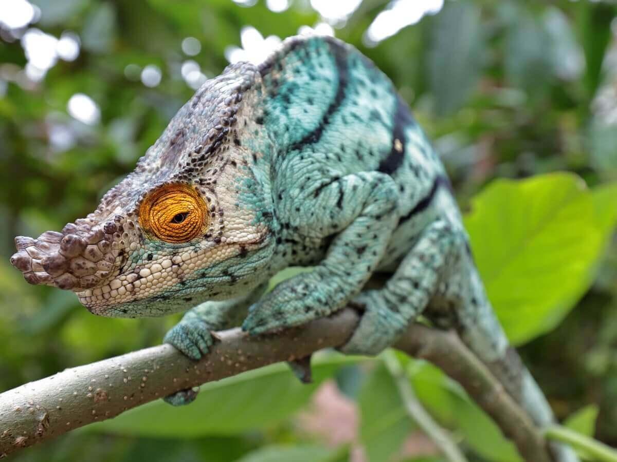 Kameleon, jeden z najpiękniejszych zwierząt na świecie