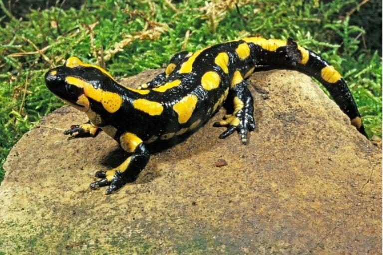 Salamandra plamista: siedlisko i charakterystyka