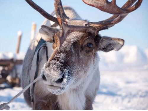 Karibu w śniegu, Jedno ze zwierząt najbardziej dotkniętych przez zmiany klimatyczne