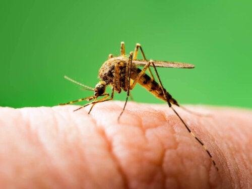 Komar kąsa rękę