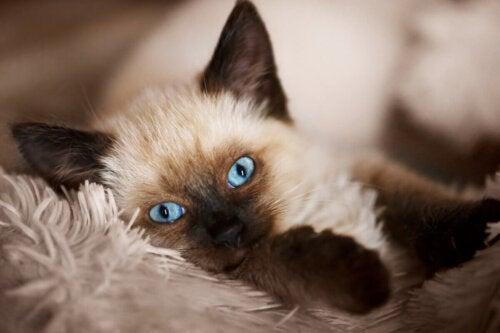 Kot balijski, jedna z najdelikatniejszych ras kotów
