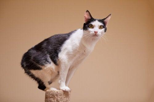Kot manx, Koty lubiące wodę