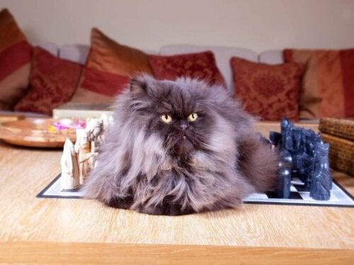Kot perski, jedna z najdelikatniejszych ras kotów