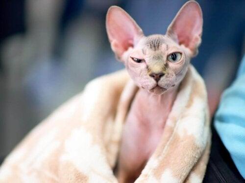 Kot sfinks, jedna z najdelikatniejszych ras kotów