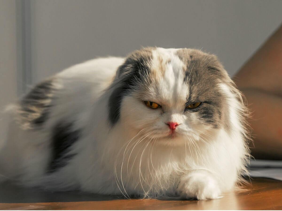 Kot zwisłouchy szkocki