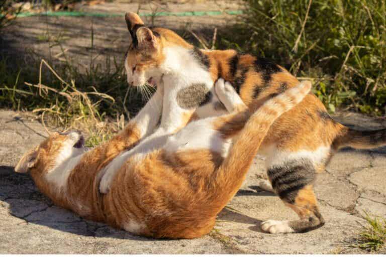 Walki kotów – jak rozdzielić dwa walczące ze sobą koty?