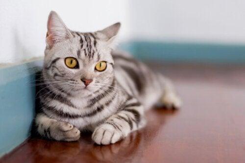 Kot leży na podłodze, jedna z ras kotów lubiących wodę