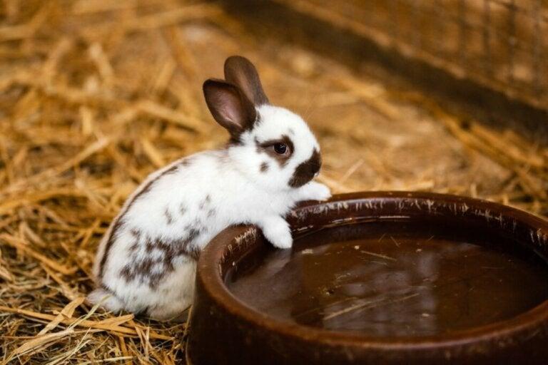 Czy króliki piją wodę?