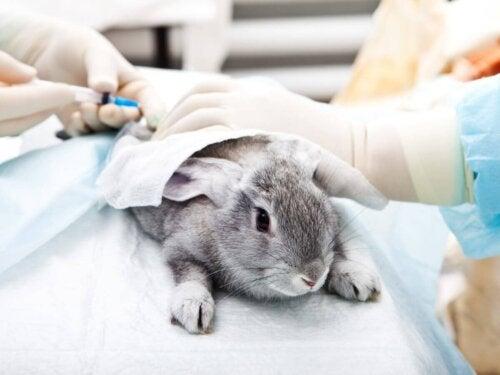 Królik dostaje zastrzyk, a choroby przenoszone przez króliki