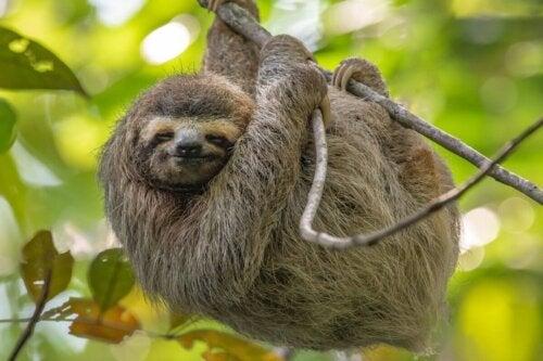 Leniwiec na drzewie zawieszony