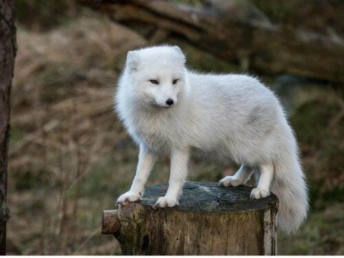 Lis polarny na gałęzi, a futro z lisa polarnego