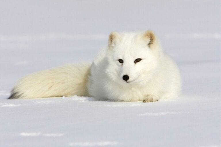 Dlaczego futro lisa polarnego zmienia kolor?