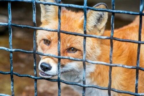 Czy lisy mogą być trzymane jako zwierzę domowe?