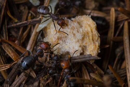 Mechanizm obronny mrówek, a jak odstraszyć mrówki?