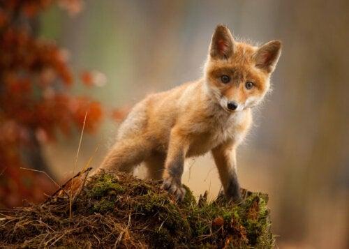 Młody osobnika lisa