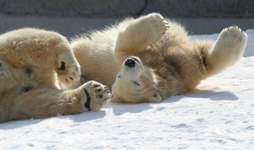 Bawiące się młode niedźwiedzie polarne,