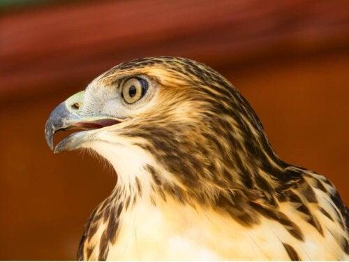 Orzeł, ptak jeden z najpiękniejszych zwierząt na świecie