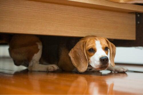 Pies ukrywa się pod łóżkiem