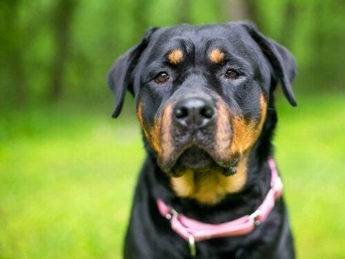 Rottweiler w różowej obroży