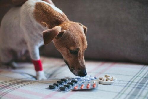 Pies wącha tabletki