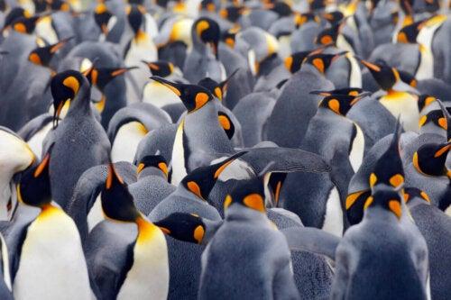 Pingwin cesarski, zwierzęta zagrożone wyginięciem