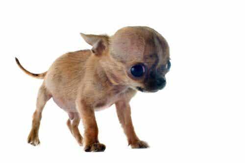 Wodogłowie u psów: objawy i opieka