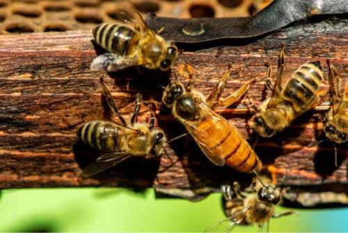 Pszczoły – Jedno ze zwierząt najbardziej dotkniętych przez zmiany klimatu.