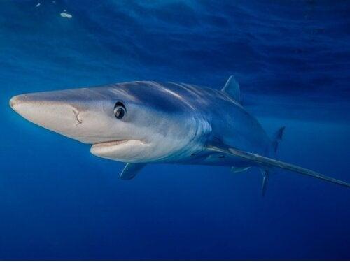 Rekin błękitny