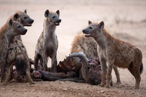 Samice hieny w grupie