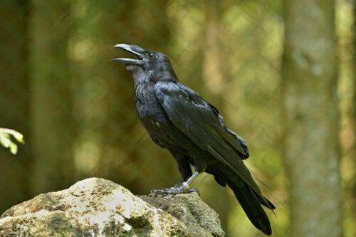 Wrona, ptak, który skrzeczy