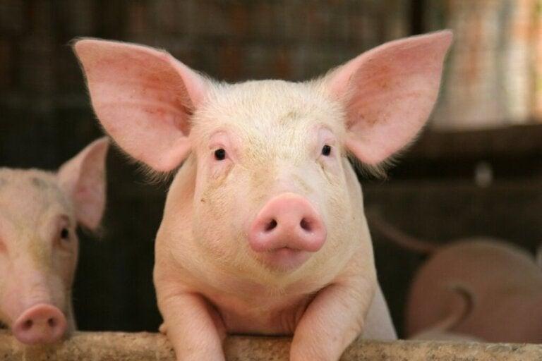 Świnie – poznaj o nich 10 ciekawych faktów