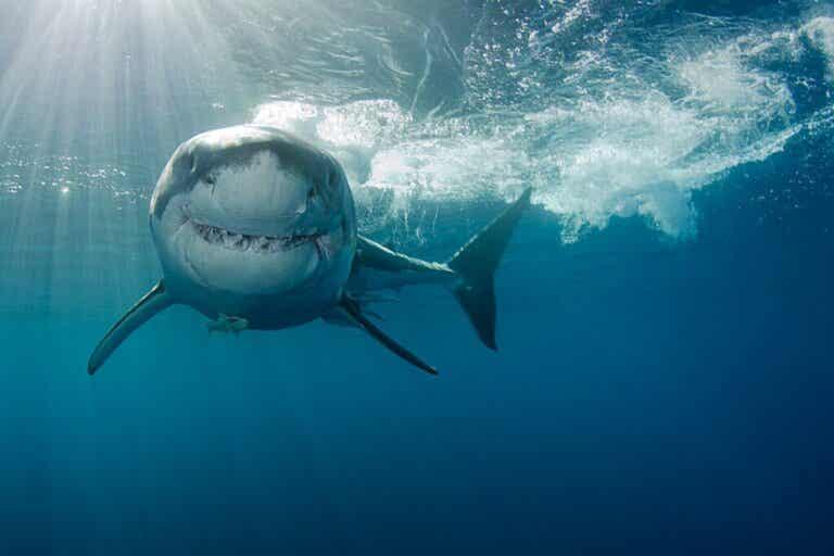Jak polują rekiny?