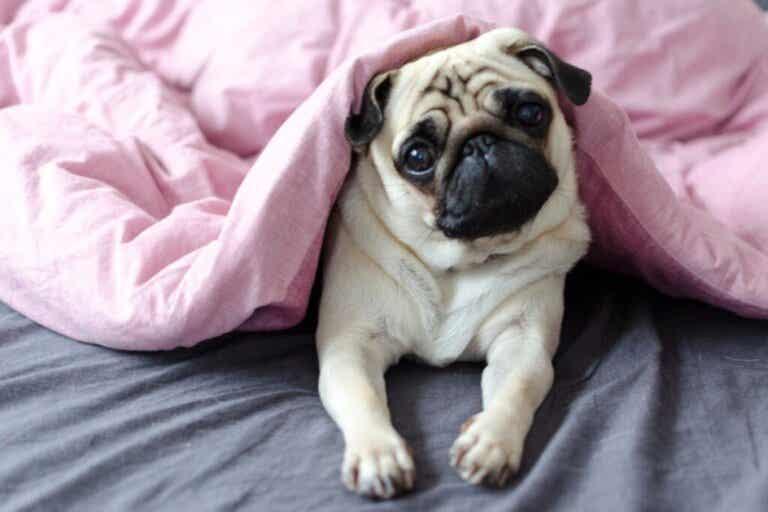 Choroby układu pokarmowego u psów brachycefalicznych