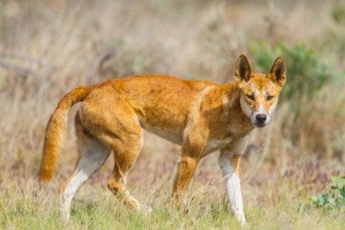 Dingo pies