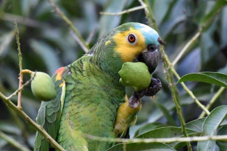Czy papugi mogą jeść pomidory?